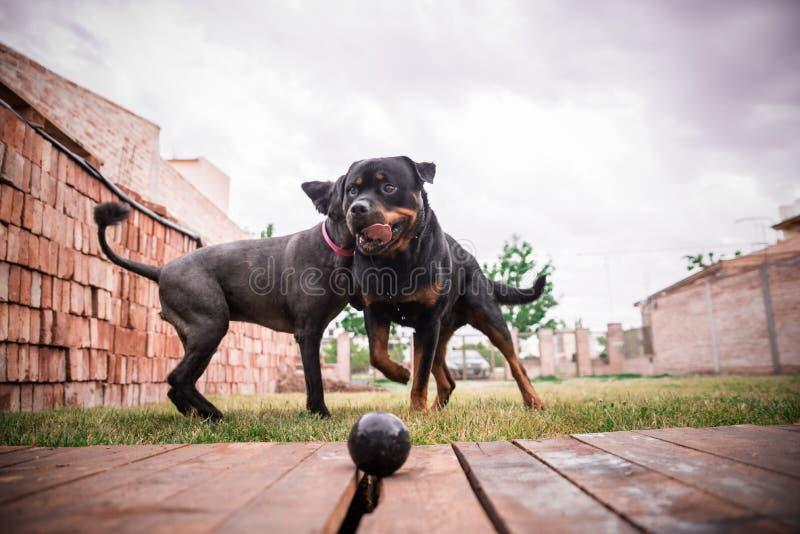 nette glückliche Schoßhunde perros felices lizenzfreies stockbild