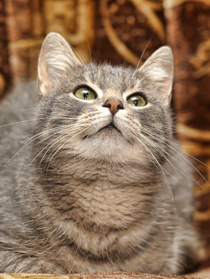 Download Nette Graue Gestreifte Katze Stockfoto - Bild von lustig, katze: 27731940