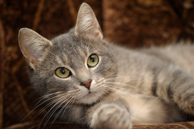 Download Nette Graue Gestreifte Katze Stockfoto - Bild von grau, augen: 27731952