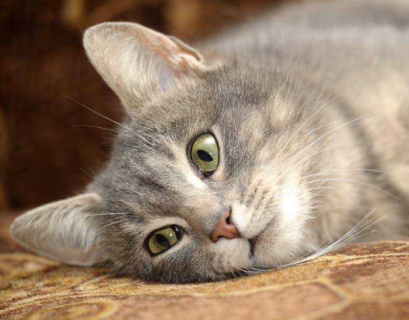 Download Nette Graue Gestreifte Katze Stockfoto - Bild von inländisch, tier: 27731980
