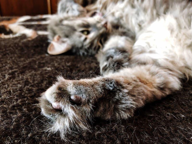 Nette graue Katze der getigerten Katze, die auf dem Bett, Fokus auf dem hinteren Bein liegt stockfotos