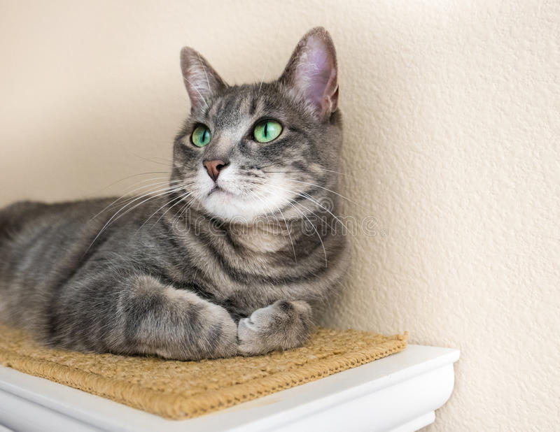 Nette graue Katze der getigerten Katze mit grünen Augen lizenzfreies stockbild