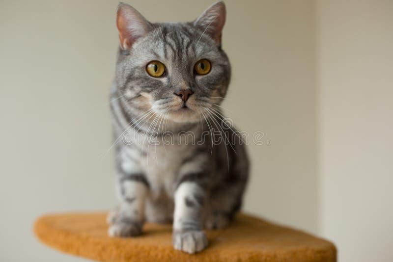 Nette graue schottische gerade Katze, die aufmerksam schaut stockbilder
