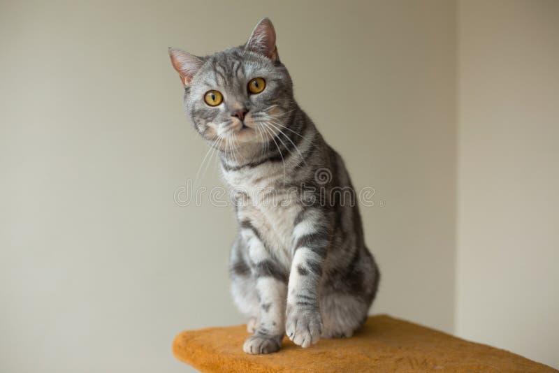 Nette graue schottische gerade Katze, die aufmerksam Sie betrachtet stockfotos