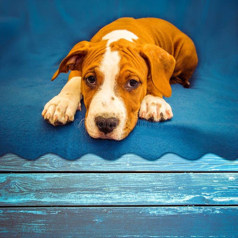 Nette Hündchen American Staffordshire Terrier-Lügen und Wartefestlichkeit lizenzfreie stockbilder