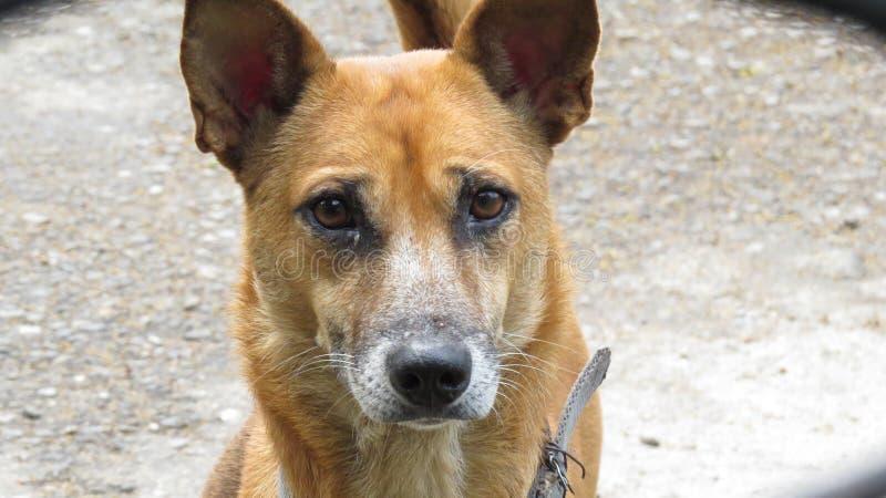 nette Hundekopf-Porträt Nahaufnahme stockfotografie