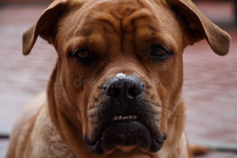 Nette Hundemündung mit Stücken Lebensmittel auf der Nase nach Mahlzeit lizenzfreie stockfotografie