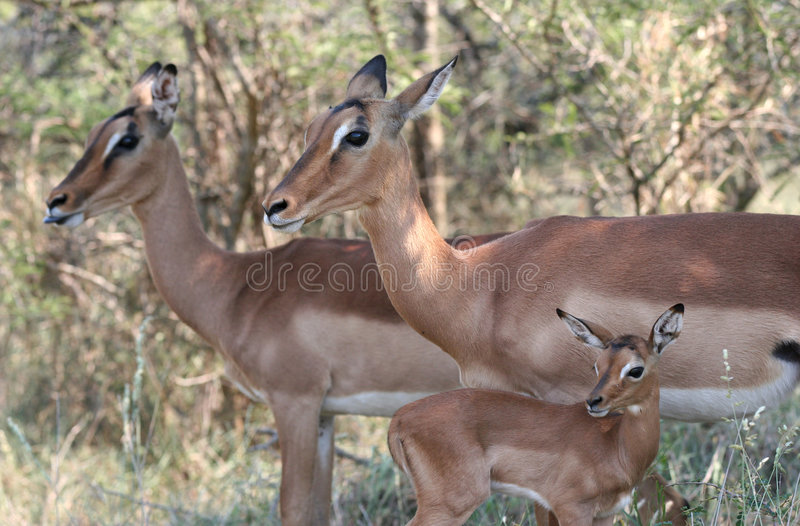 Nette Impalas stockfotografie
