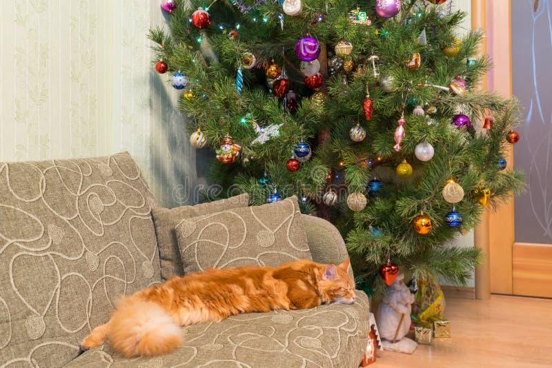Nette junge rote Katze von Maine Coon-Zucht schlafend auf dem Sofa in t stockfotografie