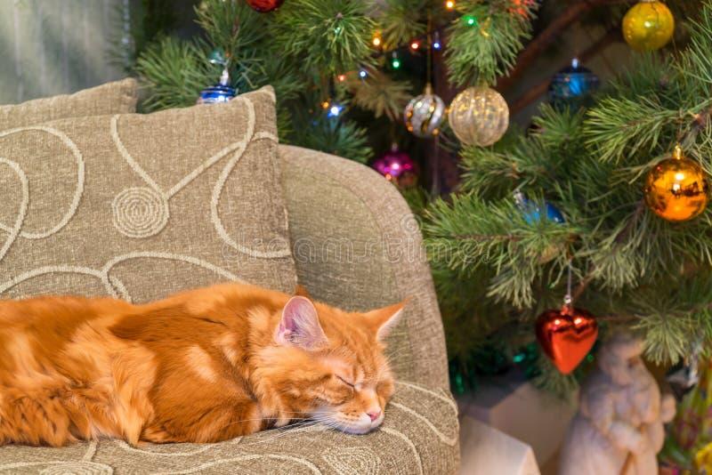 Nette junge rote Katze von Maine Coon-Zucht schlafend auf dem Sofa in t lizenzfreies stockbild