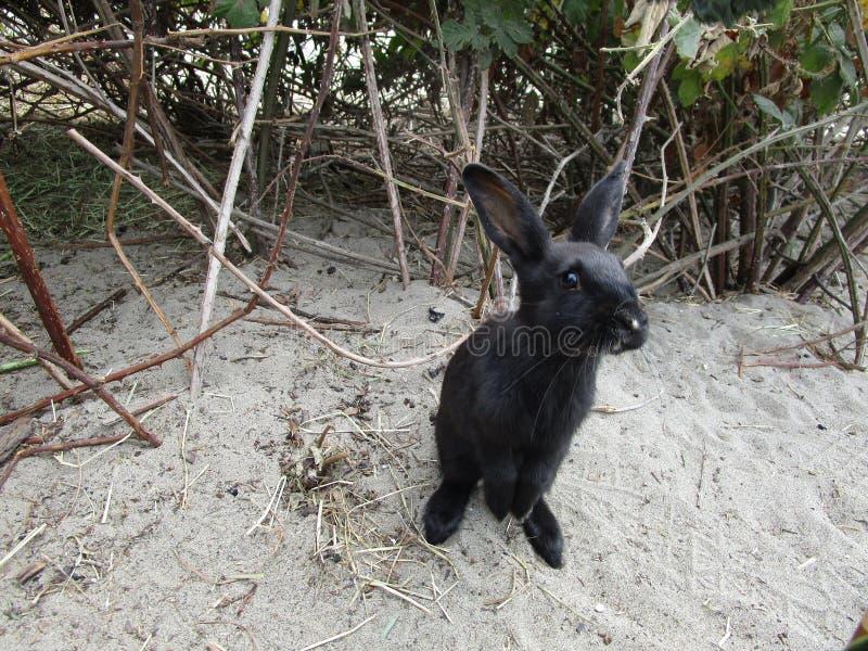 Nette junge schwarze Häschenstellung auf Sand am Strandpark lizenzfreie stockbilder