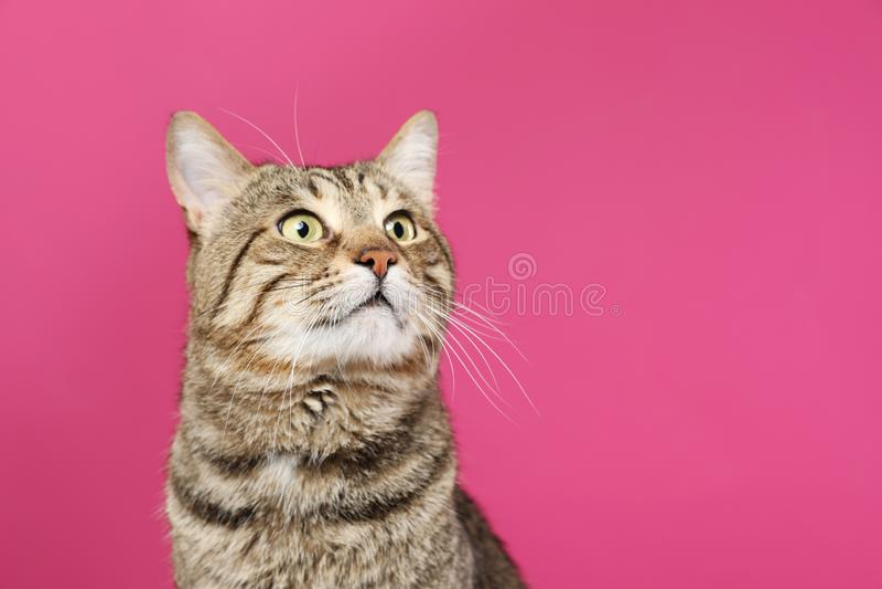 Nette Katze der getigerten Katze auf Farbhintergrund Freundliches Haustier lizenzfreies stockbild