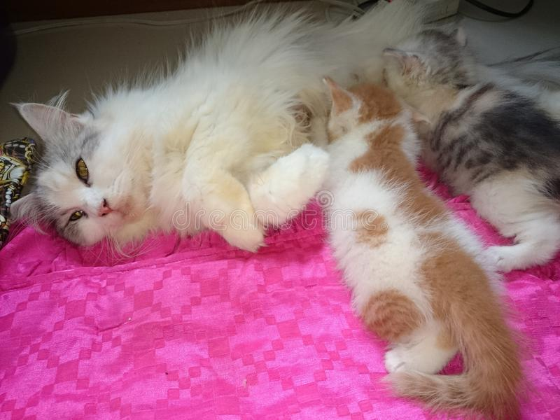 Nette Katze Thailands stillen lizenzfreies stockbild