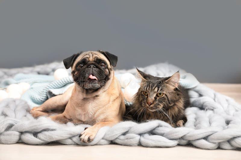 Nette Katze und Pughund mit Decken auf Boden lizenzfreie stockbilder