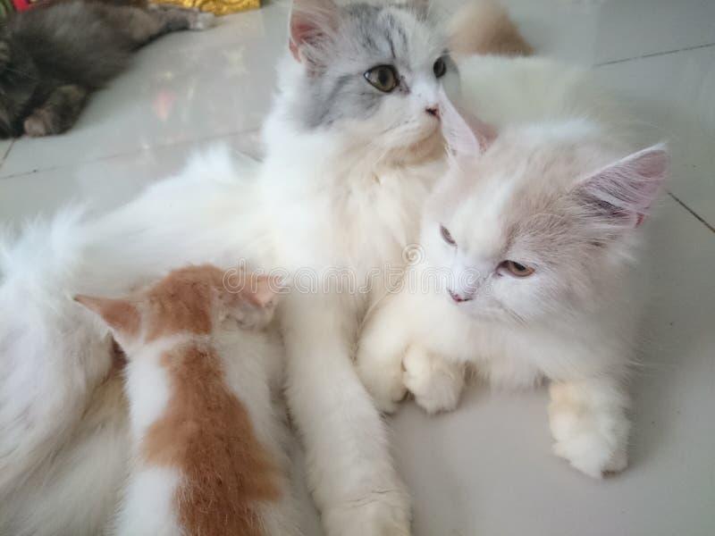 Nette Katzenfamilie Thailands stockfotos