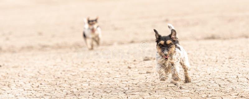 Nette kleine Hunde laufen über sandigen Boden und Spaß zu haben Zwei Terrier Jack-Russell stockbild