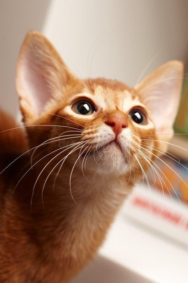 Download Nette kleine rote Katze stockfoto. Bild von neugier - 106804776
