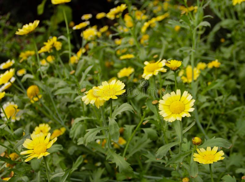 Nette kleine Sonnenblumen lizenzfreies stockbild