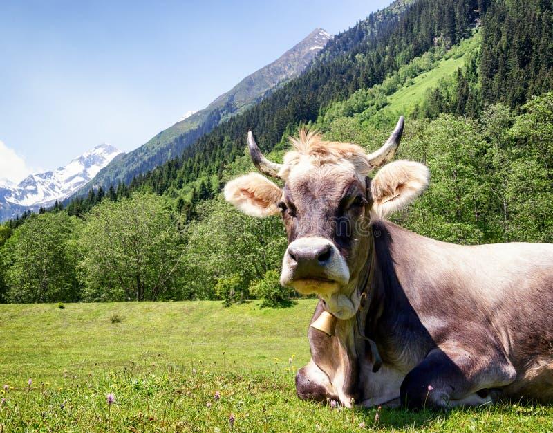 Nette Kuh stockbilder