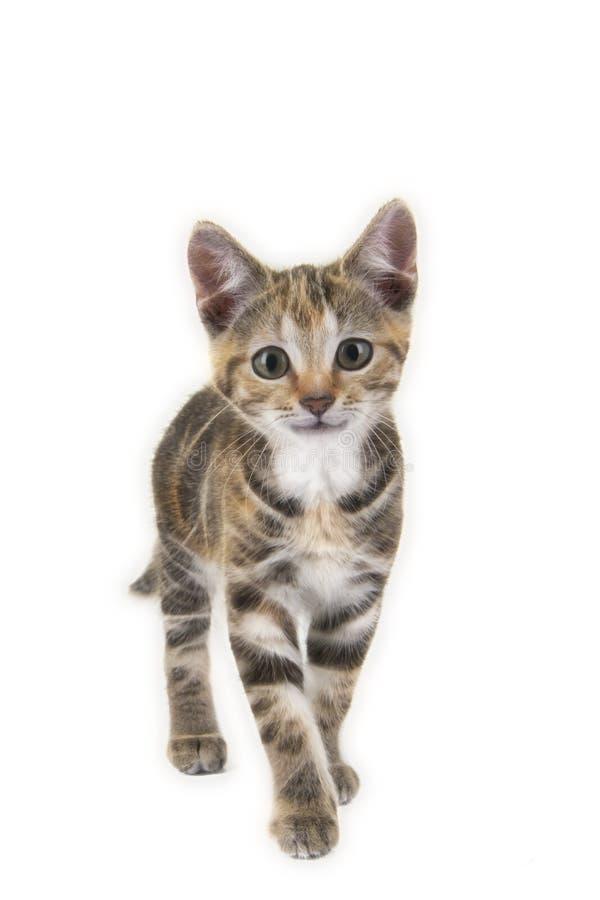 Nette lächelnde Kätzchenkatze der getigerten Katze, die in Richtung zu Ihnen geht lizenzfreie stockbilder
