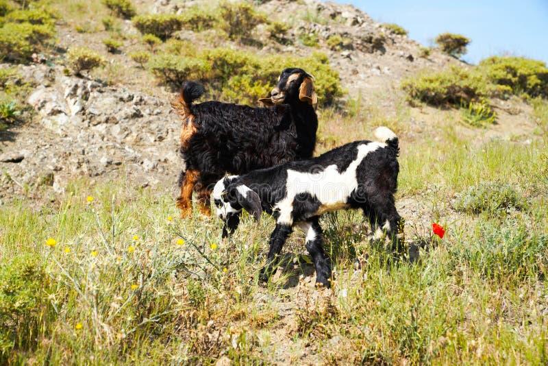Nette langohrige Ziegenkinder auf felsiger Weide stockfoto