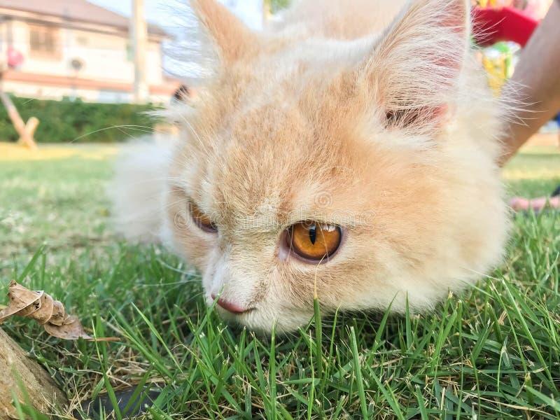 Nette lustige orange persische Katze auf grünem Rasen am Hinterhof lizenzfreie stockfotografie