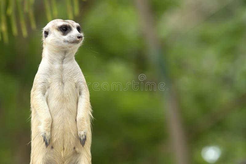 Nette meerkat Stellung stockbild