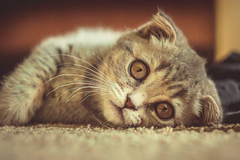 Nette Miezekatze, die auf einen Teppich legt lizenzfreies stockbild