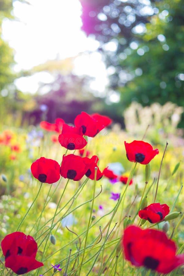 Nette Mohnblume im Sonnenlicht lizenzfreie stockbilder