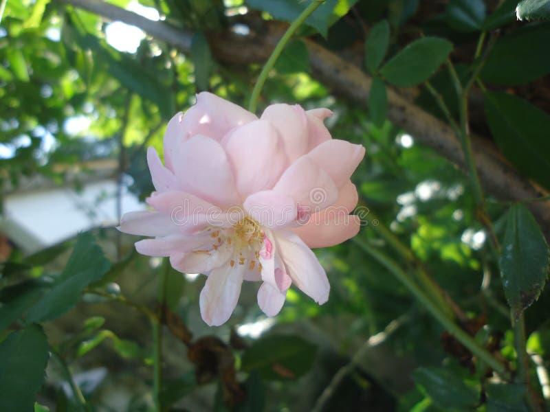 Nette Morgenblume in Sri Lanka lizenzfreies stockfoto
