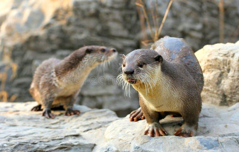 Nette Otter lizenzfreies stockbild