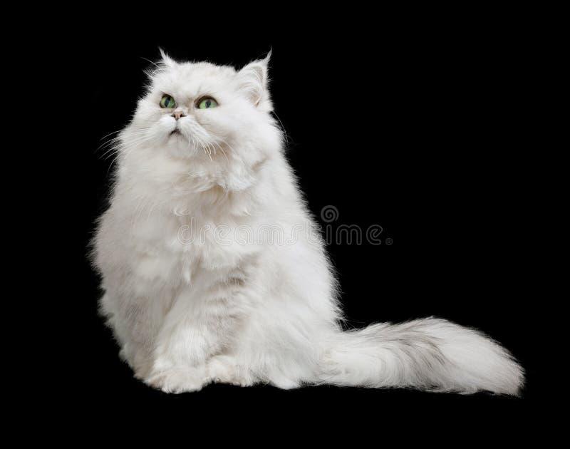 Nette pelzartige weiße Katze mit dem langen Pelzendstück, lokalisiert stockbilder
