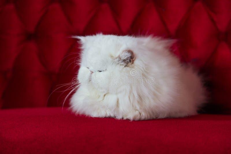 nette persische Katze, weiße Katze, die auf dem roten Sofa liegt stockfotos