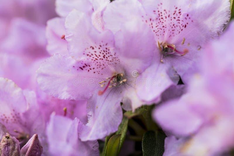 Nette purpurrote Blumen, Abschluss oben lizenzfreie stockfotografie