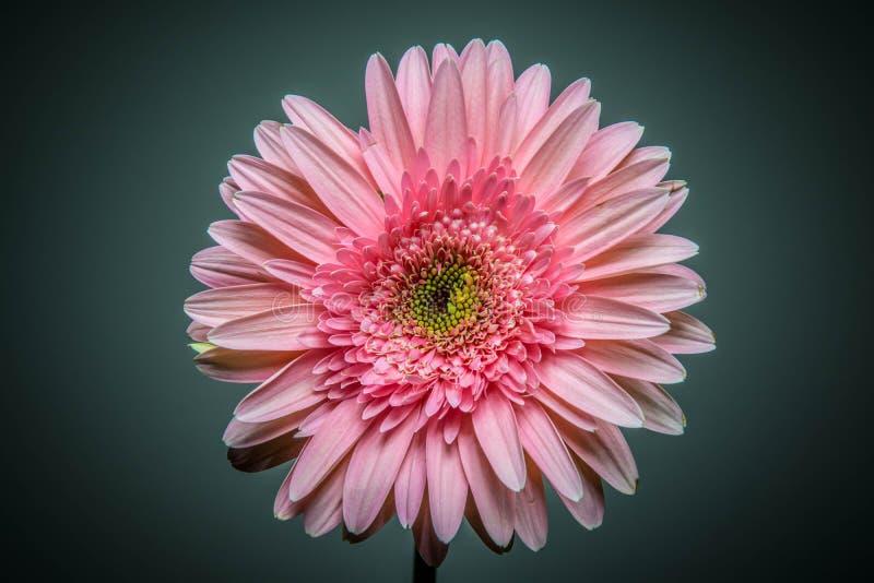 Nette rosa Blume stockbilder