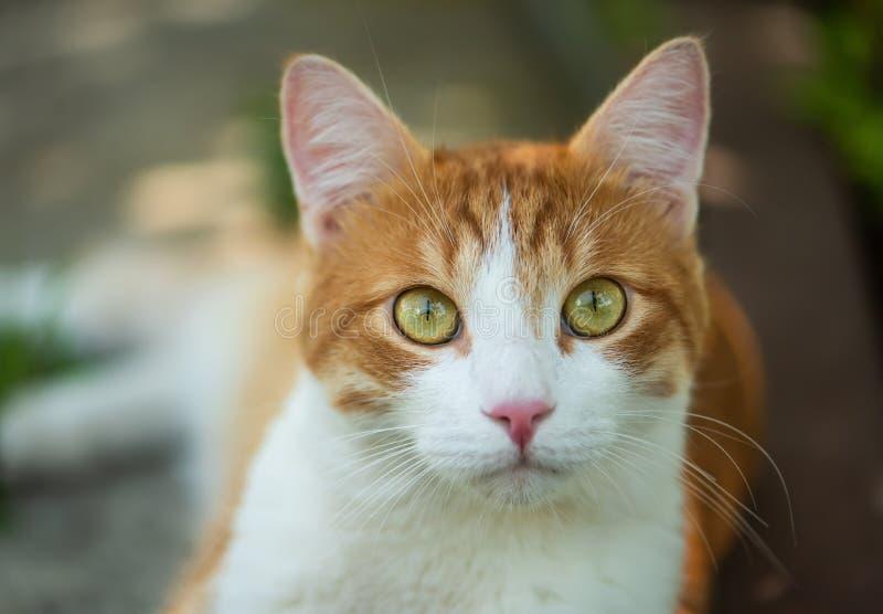 Nette rote Katze mit Nahaufnahme der gr?nen Augen stockfotografie