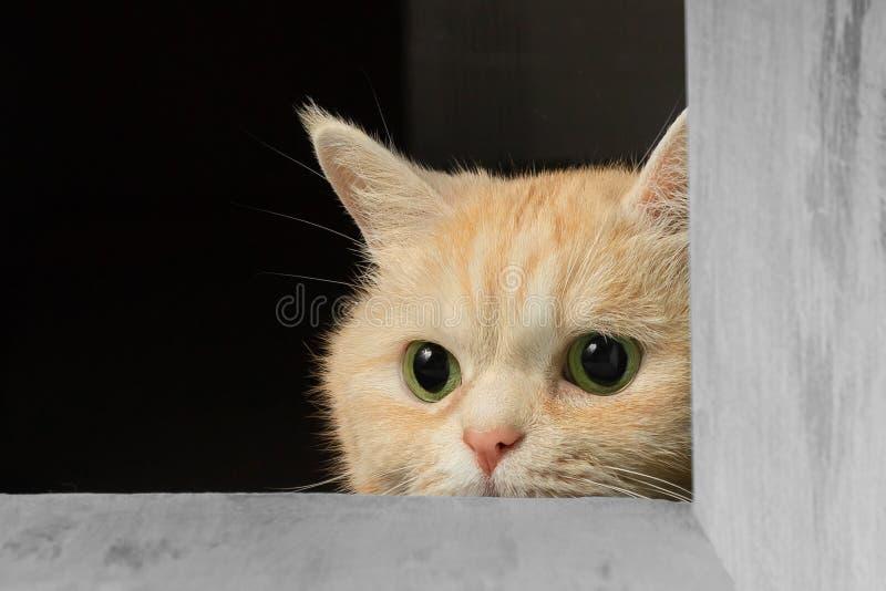 Nette Sahnekatze der getigerten Katze, die heraus von unterhalb der Tabelle jagt für ein Spielzeug späht lizenzfreie stockfotografie