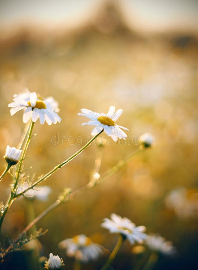 Nette schöne Gänseblümchen auf einer sonnigen frohen Wiese lizenzfreies stockbild