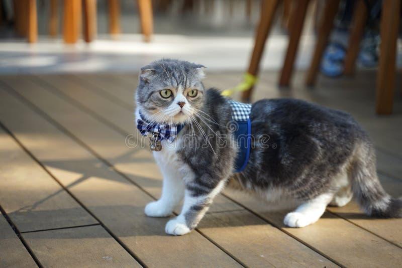 Nette schottische Faltenkatzenzucht mit dem einzigartigen gefalteten Ohr, das blaue Plaidfliege trägt stockbilder