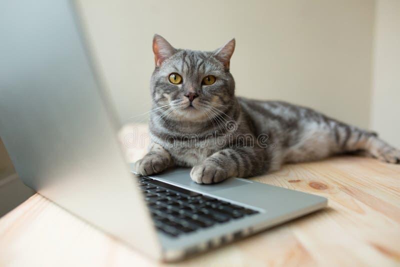 Nette schottische gerade graue Katze, die online am Computer arbeitet lizenzfreie stockbilder