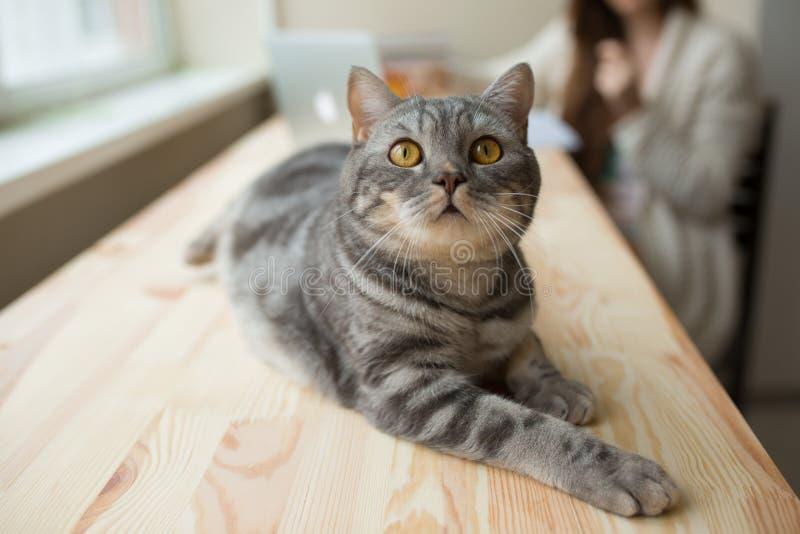 Nette schottische gerade Katze, die auf dem Tisch liegt und oben schaut lizenzfreie stockbilder