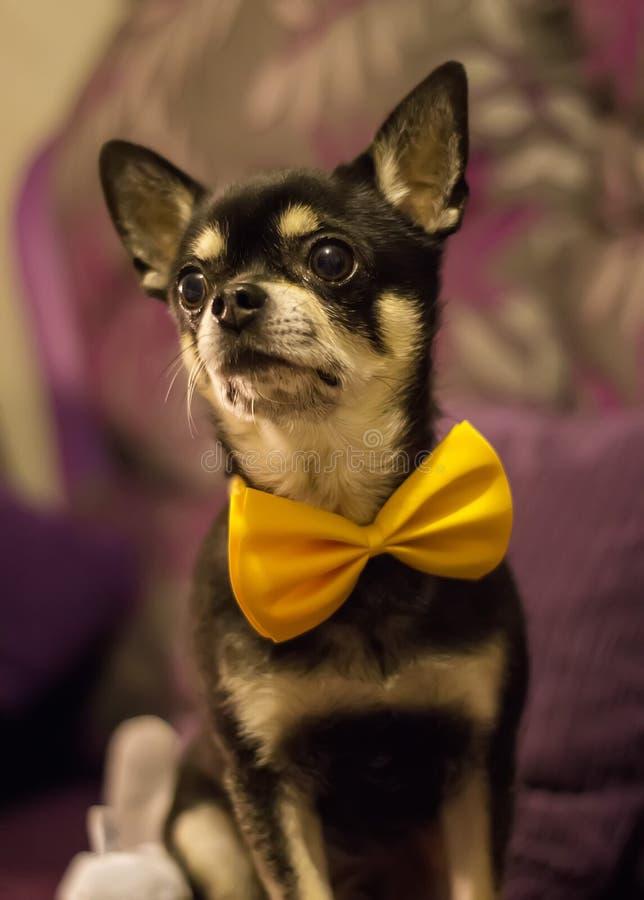 Nette schwarze Chihuahua, die gelbes bowtie tragen lizenzfreies stockfoto