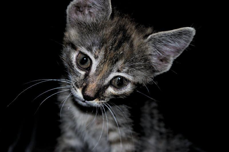 Nette schwarze und graue Katze der getigerten Katze mit einem interessanten und neugierigen Ausdruck stockfotografie