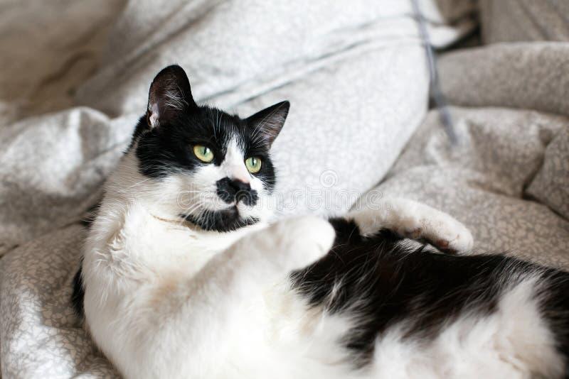 Nette Schwarzweiss-Katze mit dem Schnurrbart, der mit Mäusespielzeug auf Bett spielt Lustige Miezekatze, die auf stilvollen Blätt stockbilder