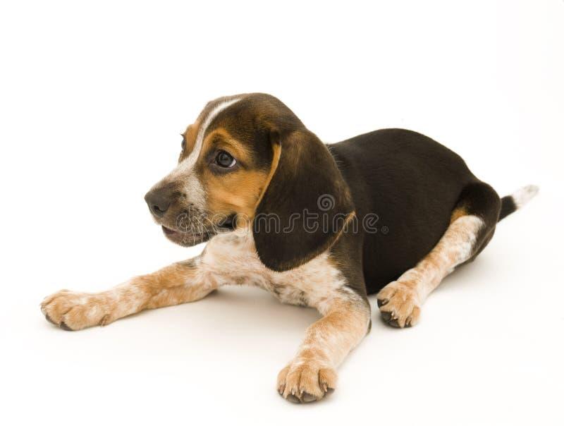 Nette Spürhund-Niederlegung lizenzfreie stockfotografie
