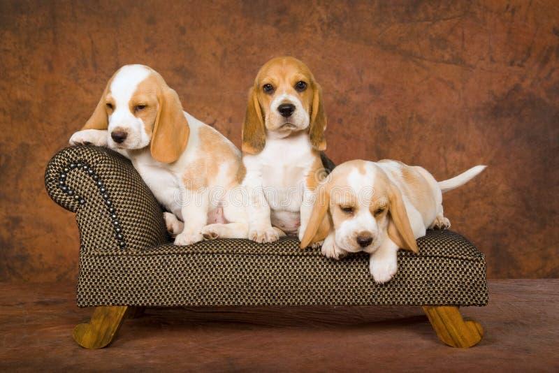 Nette Spürhundwelpen auf Sofa stockfoto