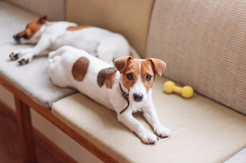 Nette Steckfassung Russell verfolgt das Schlafen und das Stillstehen auf der Couch Hund, der eine Siesta, träumend hat stockfoto