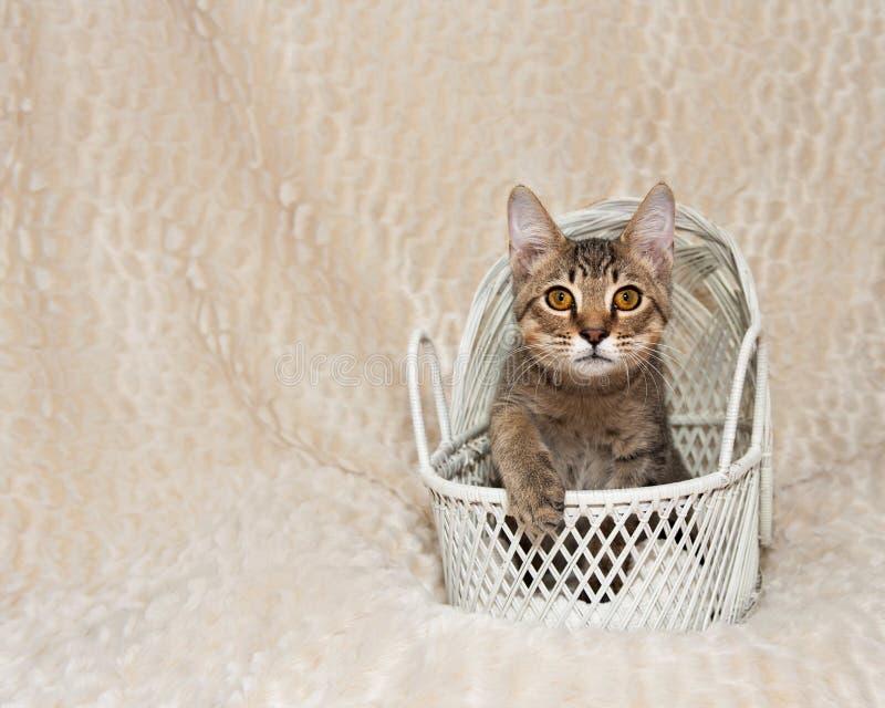 Nette Tabby Kitten im weißen Korb lizenzfreies stockfoto