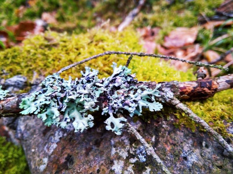 Nette tak met blauw korstmos op groene mos dichte omhooggaand royalty-vrije stock afbeeldingen