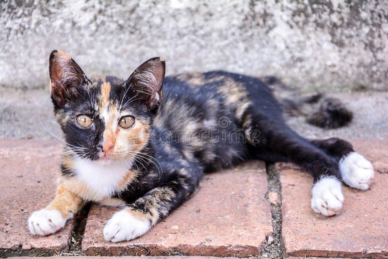Nette thailändische Katze stockfoto